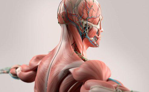 Anatomie-module
